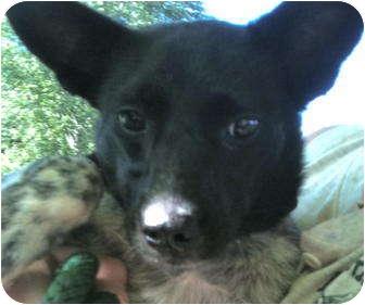 Border Collie/Blue Heeler Mix Puppy for adoption in Metamora, Indiana - Mitzi