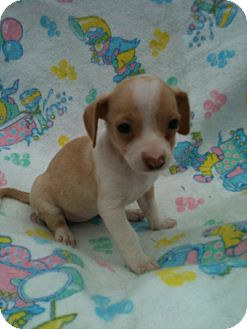 Chihuahua/Dachshund Mix Puppy for adoption in Hammond, Louisiana - Daiquiri