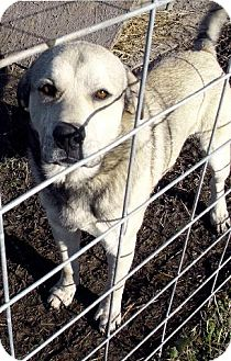 Great Pyrenees/Akita Mix Dog for adoption in Moulton, Alabama - Sampson
