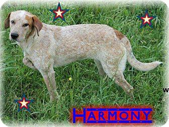 English Setter/Blue Heeler Mix Dog for adoption in Hancock, Michigan - Harmony