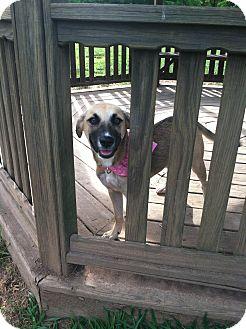 Shepherd (Unknown Type)/Labrador Retriever Mix Puppy for adoption in Bridgewater, New Jersey - Trixie