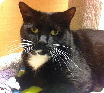 Domestic Shorthair Cat for adoption in Worcester, Massachusetts - Mimi