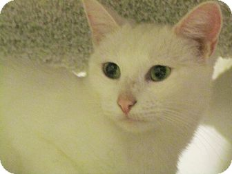 Domestic Shorthair Kitten for adoption in Seminole, Florida - Opal