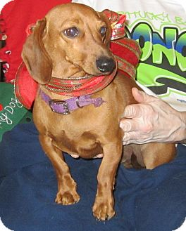 Dachshund Dog for adoption in Harrodsburg, Kentucky - Sparky