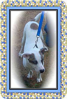 Catahoula Leopard Dog/Pointer Mix Puppy for adoption in Ijamsville, Maryland - Jack