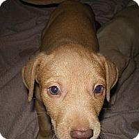 Adopt A Pet :: LuLu - Apex, NC