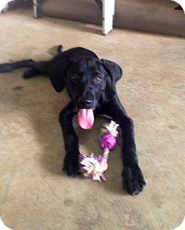 Labrador Retriever Puppy for adoption in CHICAGO, Illinois - TAYLOR