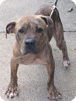 Pit Bull Terrier/American Staffordshire Terrier Mix Dog for adoption in Chicago, Illinois - Harry