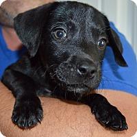 Adopt A Pet :: Bobbin-adoption in progress - Marshfield, MA