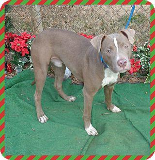 American Pit Bull Terrier/Labrador Retriever Mix Dog for adoption in Marietta, Georgia - PRINCE - see video
