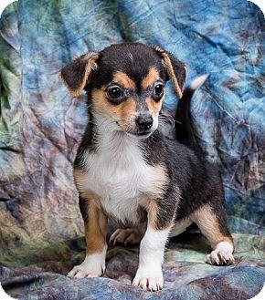 Rat Terrier Mix Puppy for adoption in Anna, Illinois - NALA