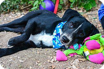 Labrador Retriever Mix Dog for adoption in Nanaimo, British Columbia - Shadow