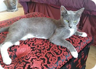 Domestic Shorthair Cat for adoption in Toledo, Ohio - Little Bella