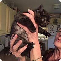 Adopt A Pet :: Yertle the Turtle-black smoke - McDonough, GA