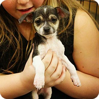 Chihuahua Mix Puppy for adoption in Rancho Cucamonga, California - Charles