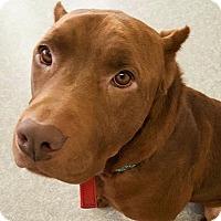 Adopt A Pet :: Redd - Pompton Lakes, NJ