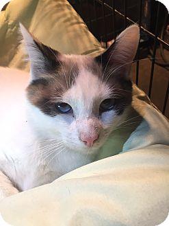 Snowshoe Kitten for adoption in Greensburg, Pennsylvania - Simon