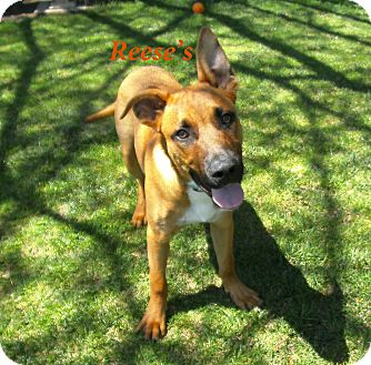 German Shepherd Dog Mix Puppy for adoption in El Cajon, California - Reese's