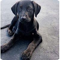 Adopt A Pet :: Ember-Adoption pending - Fredericksburg, VA