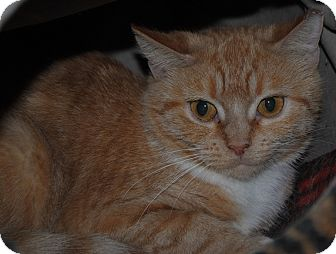 Domestic Shorthair Cat for adoption in Lafayette, New Jersey - Roma