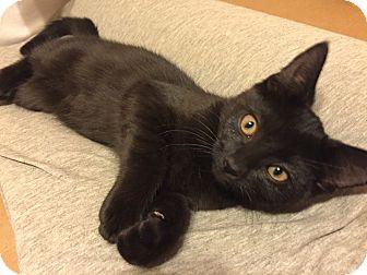 Domestic Shorthair Kitten for adoption in Barrington, New Jersey - Raven