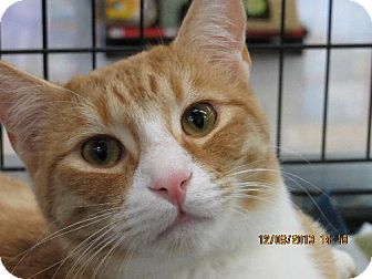 Domestic Shorthair Cat for adoption in Vacaville, California - Big Red