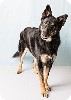 German Shepherd Dog Mix Dog for adoption in Hendersonville, North Carolina - Rocky