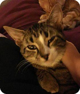 Domestic Shorthair Kitten for adoption in Middletown, Ohio - Katherine
