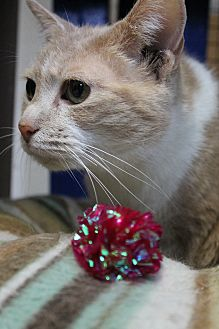Domestic Shorthair Cat for adoption in Richand, New York - Sly