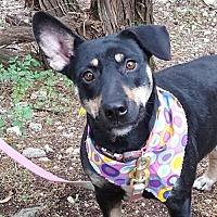Adopt A Pet :: Stella - Lago Vista, TX