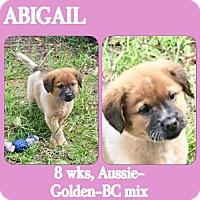 Adopt A Pet :: Abigail - Dallas, TX