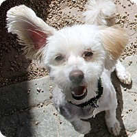 Adopt A Pet :: Dicaprio - Phoenix, AZ