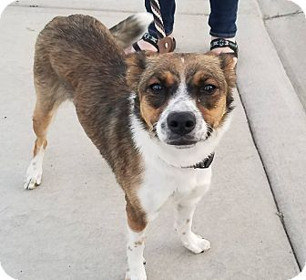 Cattle Dog Mix Dog for adoption in Reno, Nevada - Sasha