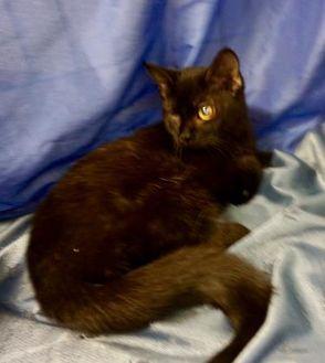 Bombay/Domestic Shorthair Mix Cat for adoption in Salem, Ohio - Zoya