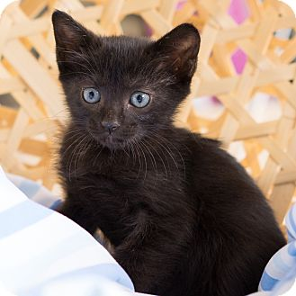 Domestic Shorthair Kitten for adoption in Montclair, California - Cassidy