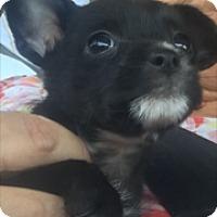 Adopt A Pet :: Beverly - Thousand Oaks, CA