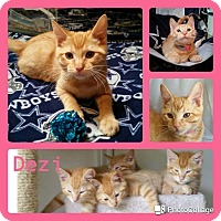 Adopt A Pet :: Dezi - Arlington/Ft Worth, TX