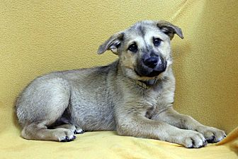 Blue Heeler/Shepherd (Unknown Type) Mix Puppy for adoption in Westminster, Colorado - Linden