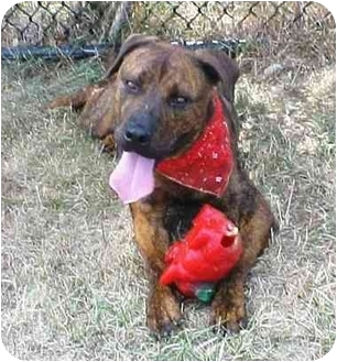Chesapeake Bay Retriever/Mastiff Mix Dog for adoption in Huntington, New York - Ike