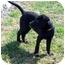 Photo 3 - Labrador Retriever Mix Puppy for adoption in Chapel Hill, North Carolina - Cully