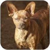 Chihuahua Mix Dog for adoption in Foster, Rhode Island - Posha