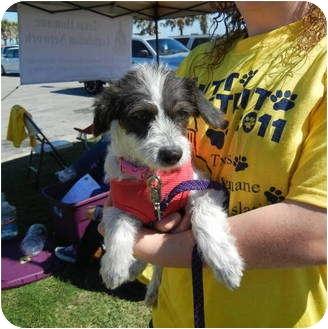 Terrier (Unknown Type, Small) Mix Dog for adoption in Corpus Christi, Texas - Miranda