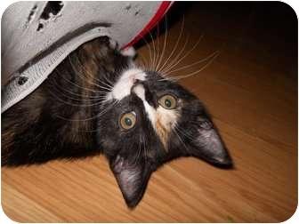 Calico Kitten for adoption in McDonough, Georgia - Grease Monkey
