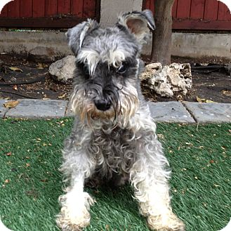 Schnauzer (Miniature) Dog for adoption in Redondo Beach, California - Mr. Magoo