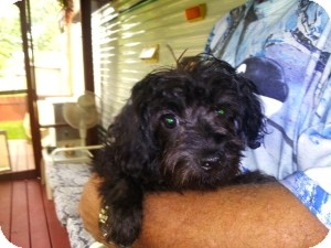 Yorkie, Yorkshire Terrier/Poodle (Miniature) Mix Puppy for adoption in North Benton, Ohio - Cole Puppy