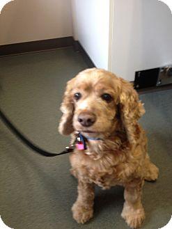 Cocker Spaniel Mix Dog for adoption in Bellingham, Washington - Buzz