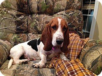 Basset Hound Dog for adoption in Northport, Alabama - Baby Girl