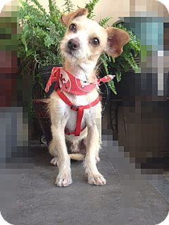 Terrier (Unknown Type, Small)/Chihuahua Mix Dog for adoption in El Cajon, California - Tiny BOBBY