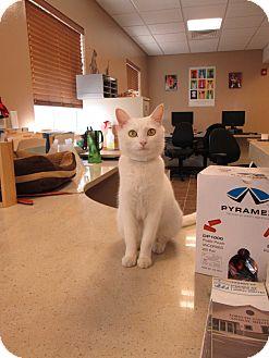 Domestic Shorthair Cat for adoption in Cumming, Georgia - Emmy