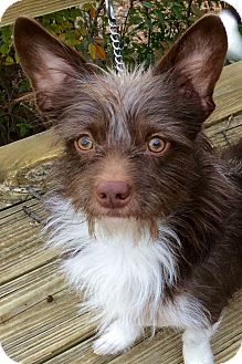 Cairn Terrier Mix Dog for adoption in McKinney, Texas - Yoda